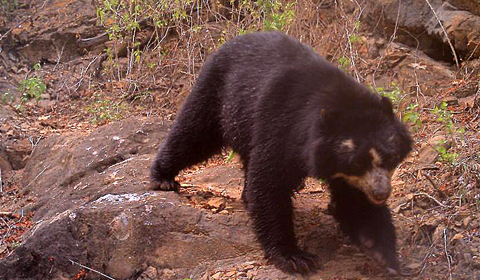 Bear in forest play