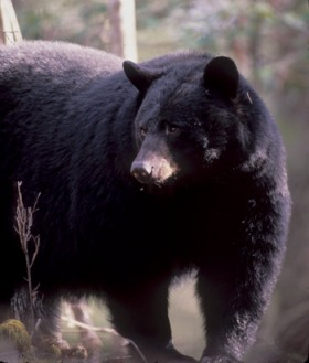 Brown Bear RS