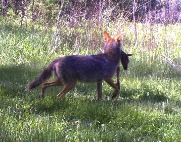 Coyote-with-fawn1 RS